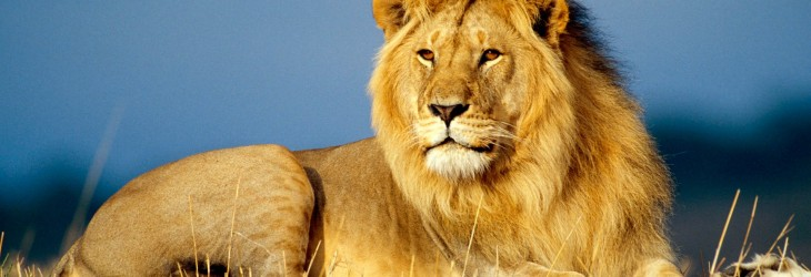african-lion-king-animals