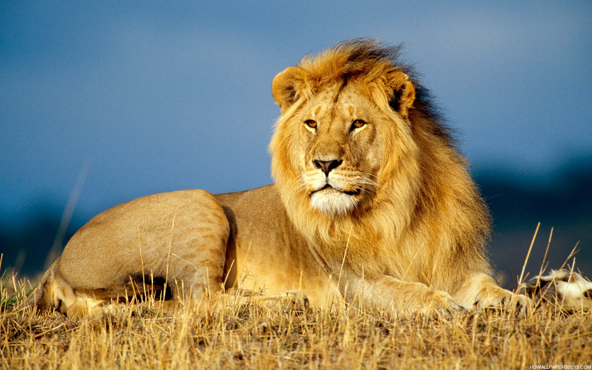 African Lion King Animals High Definition Wallpapers High