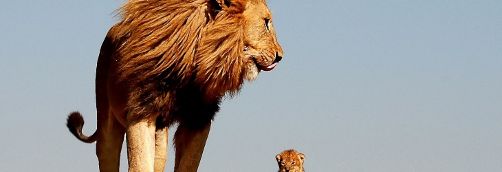 african-lion-king-wallpapers