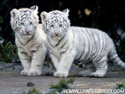 Baby Tigers Wallpapers