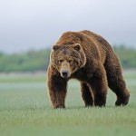 Black Bear Wallpapers