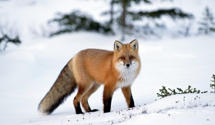 Fox Animal Wallpapers