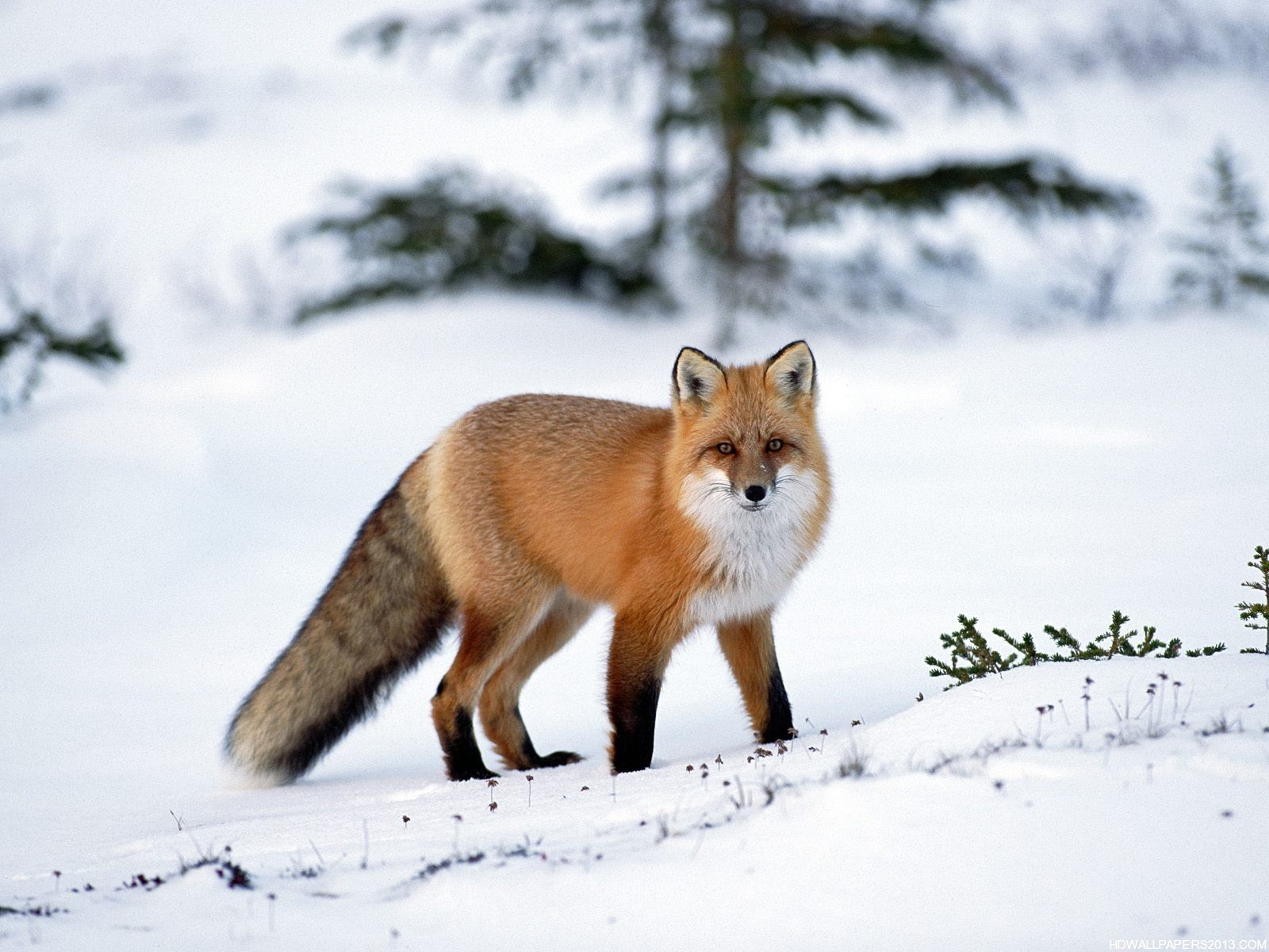Animals Fox Orange Wallpaper Animal Wallpapers: High Definition Wallpapers, High