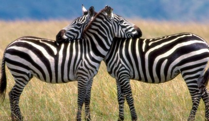 HD Zebra Wallpapers