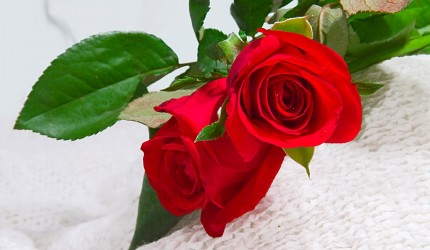 Rose Flower Wallpapers