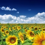 Sunflower Wallpaper Download