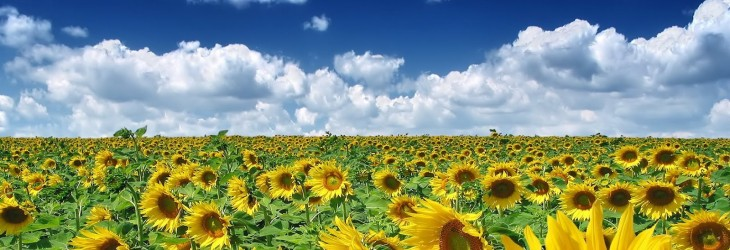 sunflower-wallpaper-download