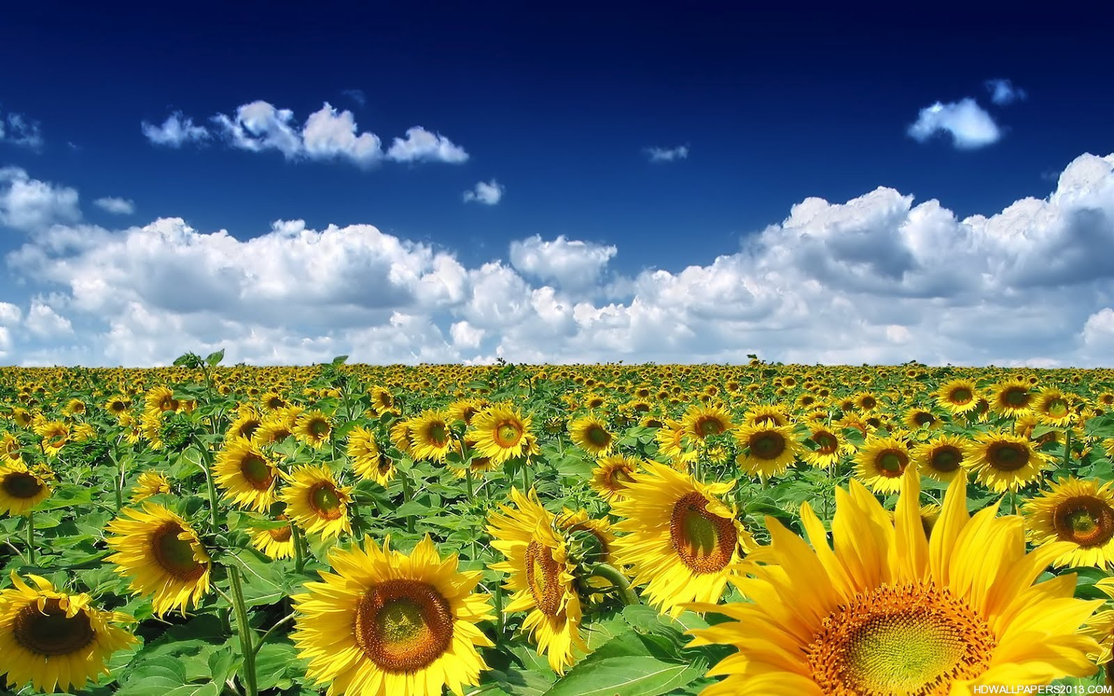 sunflower wallpaper download | high definition wallpapers, high