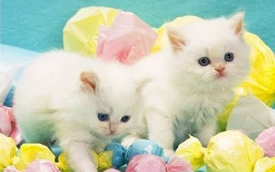 white-cats-wallpaper
