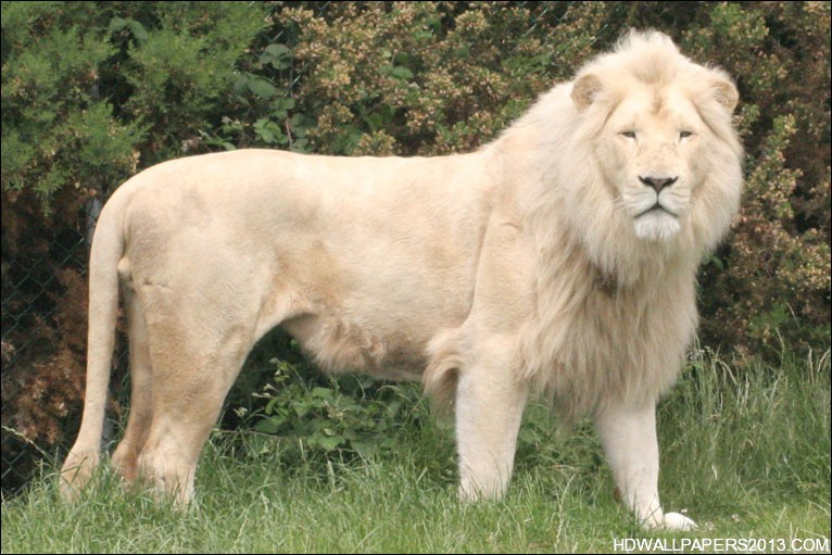 white lion wallpapers high definition wallpapers high