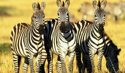 Zebra Wallpapers for Android