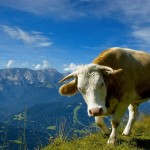Cow Wallpaper Download