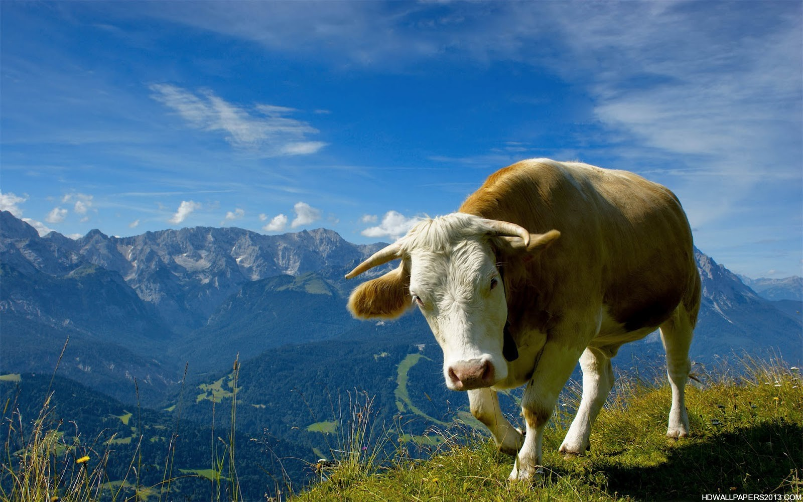 cow wallpaper download high definition wallpapers high