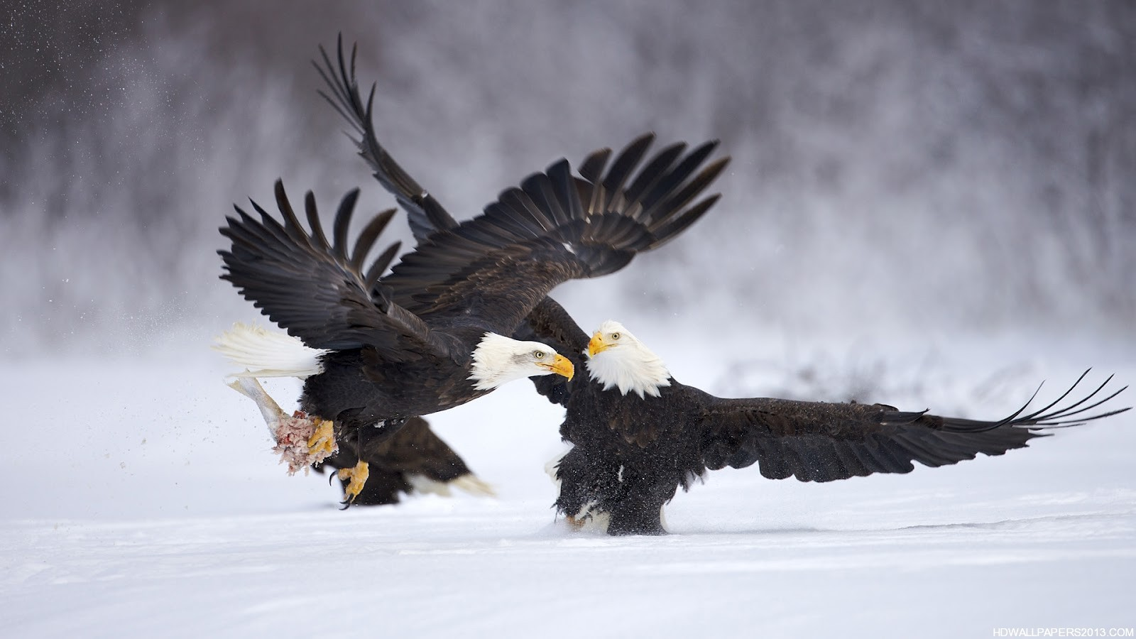 88 Golden Eagle Wallpaper Flying