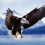 Eagle Wallpaper HD