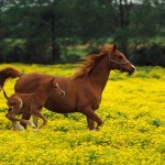 Horse Wallpapers for Desktop