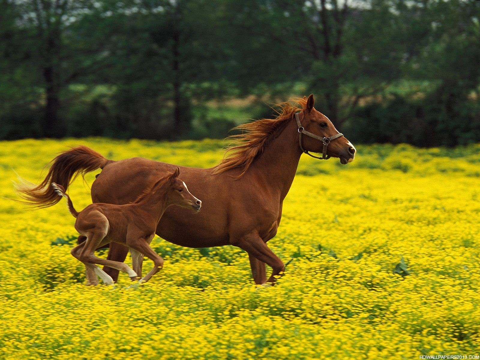 Horse Wallpapers for Desktop – HD Wallpapers Horse Wallpapers for