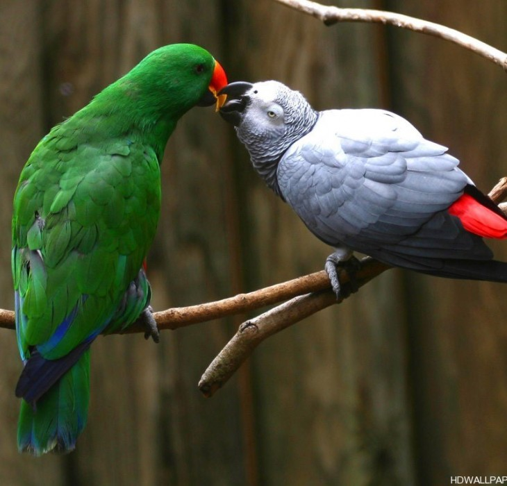 Love Parrots Wallpaper