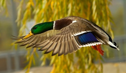 Mallard Wallpapers