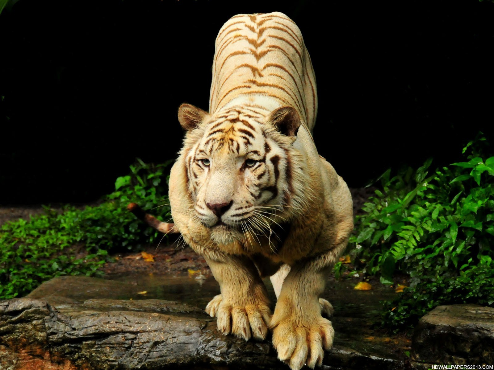 tiger hd wallpapers | high definition wallpapers, high definition