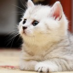 white cats wallpaper 150x150 Cute Kitten Wallpapers