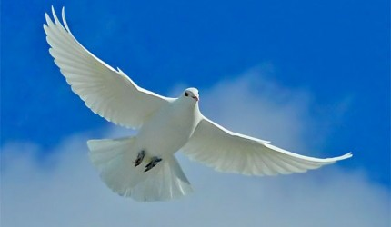 White Dove Desktop Wallpaper
