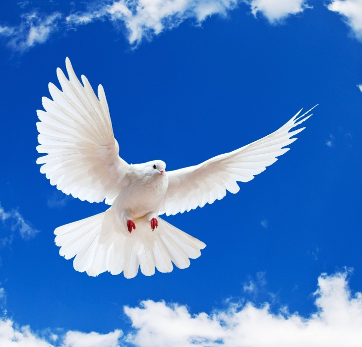 White Dove Wallpaper