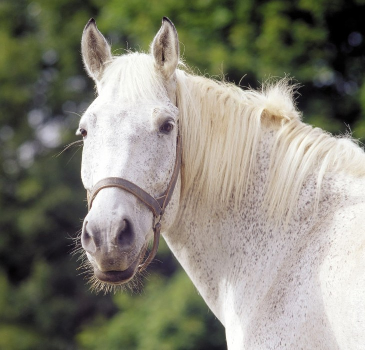 White Horse Wallpapers