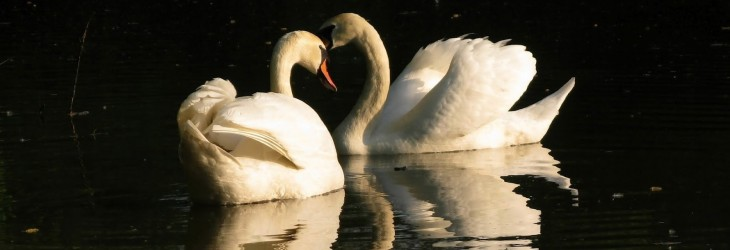 white-swans-wallpapers