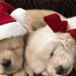 Christmas Puppies Wallpaper