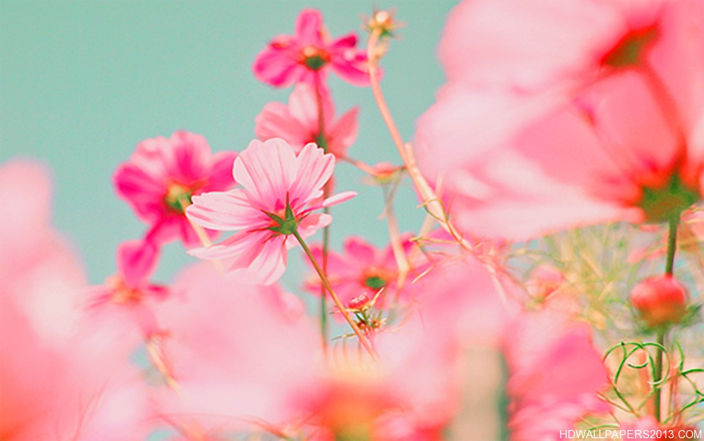 bright pink flowers on a blue background high definition