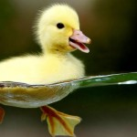 Cute Little Duckling