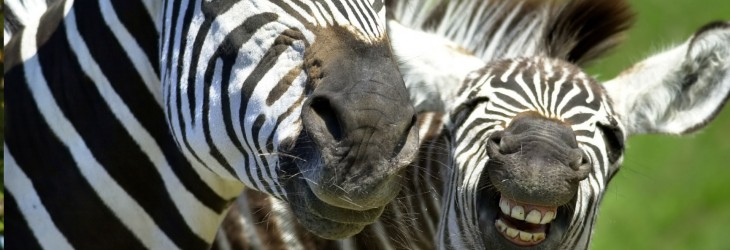 Funny HD Laughing Zebra