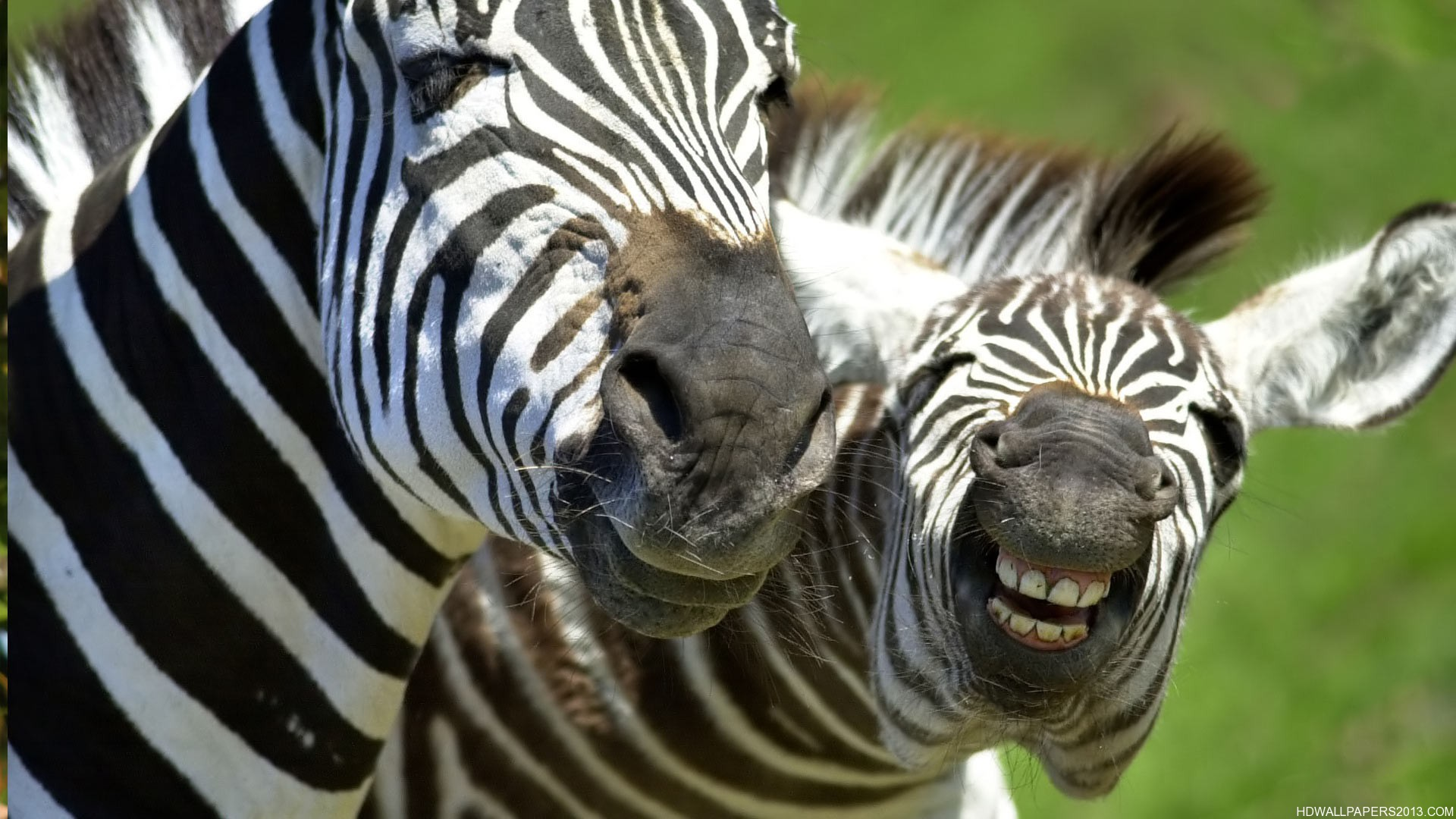 Funny HD Laughing Zebra | High Definition Wallpapers, High ... - photo#45