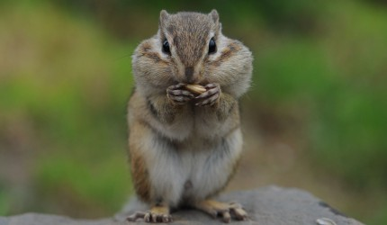 Squirrel With Its Mouth Full