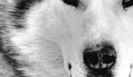 The Wolfs Stare