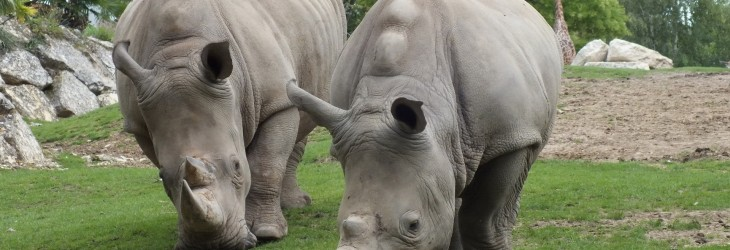 Two Hungry Rhinos