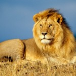 African Lion King Animals