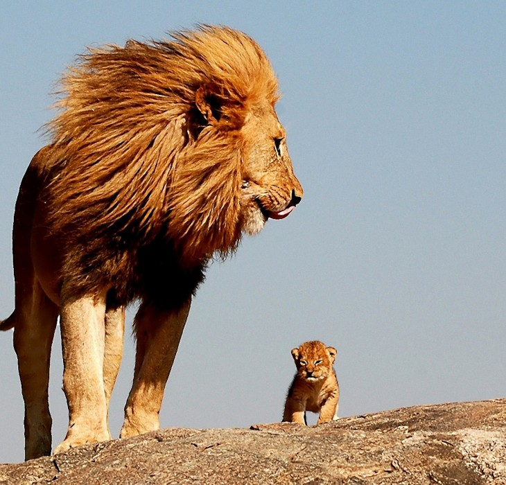 African Lion King Wallpapers