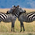 HD Zebra Wallpapers