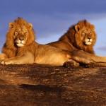 Lion Wallpaper Desktop