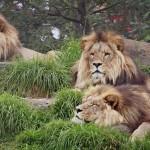 Lion Wallpaper Widescreen