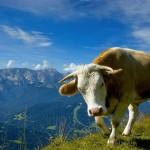 Cow Wallpaper Download