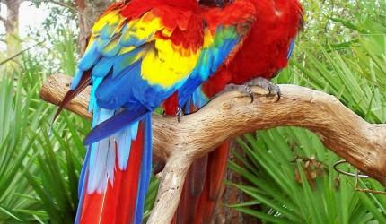 Love Bird Parrot