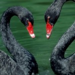 Swans Wallpaper Download