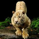 Tiger HD Wallpapers