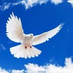 White Dove Wallpaper