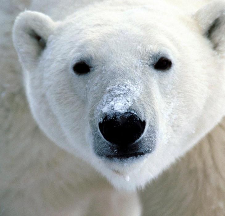 Arctic Polar Bear Wallpaper