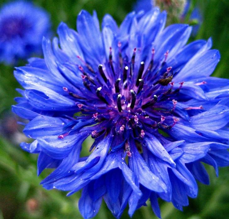 Blue flower HD