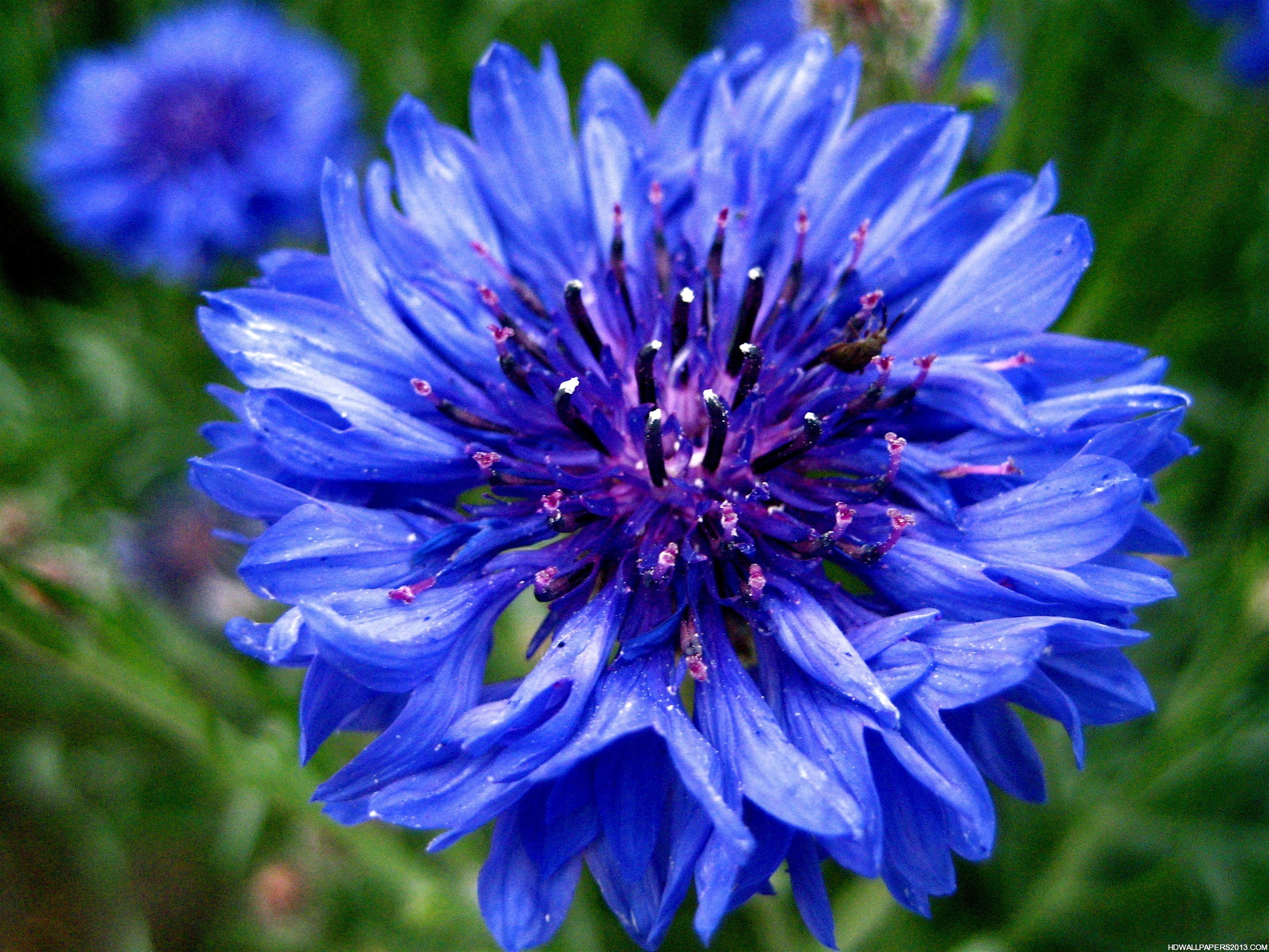 Blue Flower Hd High Definition Wallpapers High Definition